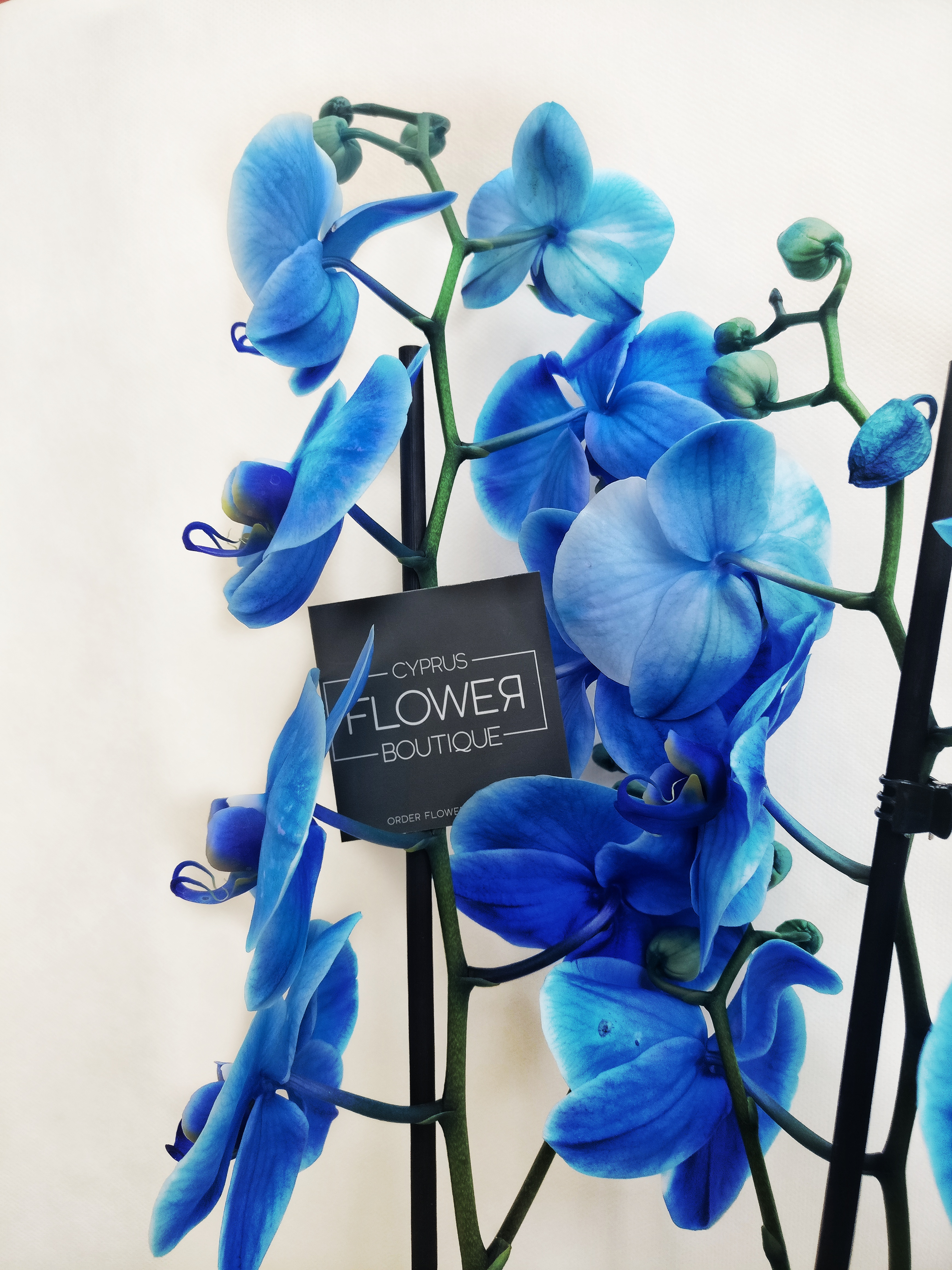 Phalaenopsis Blue - Double stem orchid